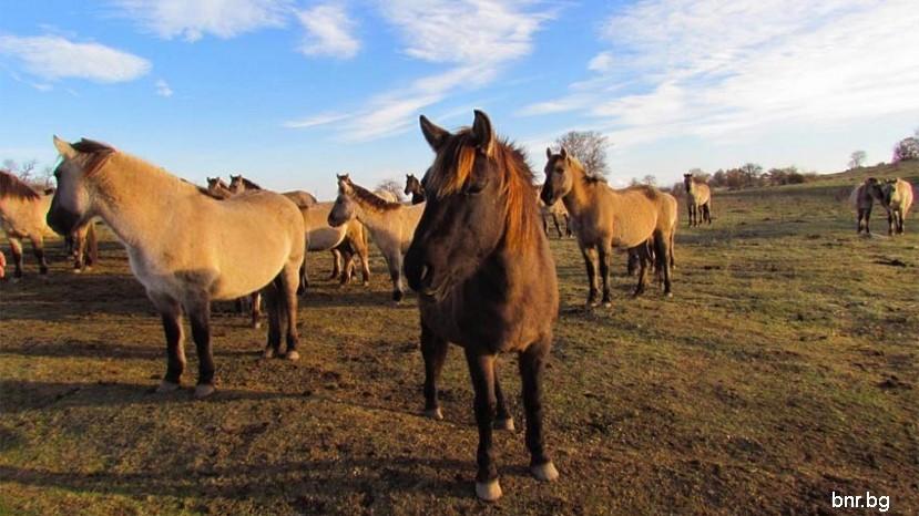 диких лошадей в Восточных Родопах